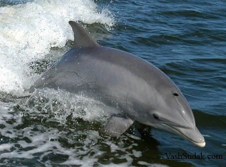 дельфины в море картинка