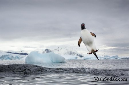 Первый Пингвин! Который Смог Полететь!