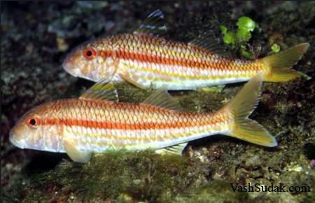 Рыбы Черного моря. Фото
